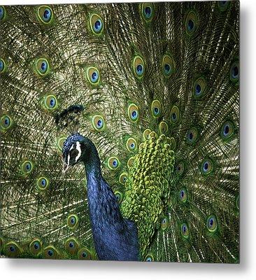 Vibrant Peacock Metal Print