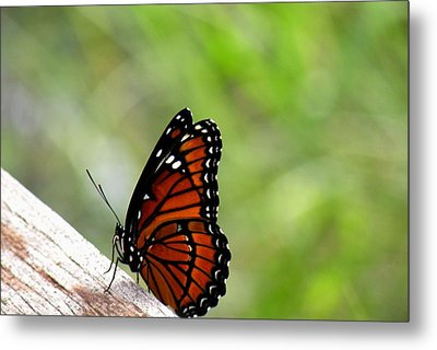 Metal Print featuring the photograph Viceroy Butterfly Side View by Rosalie Scanlon