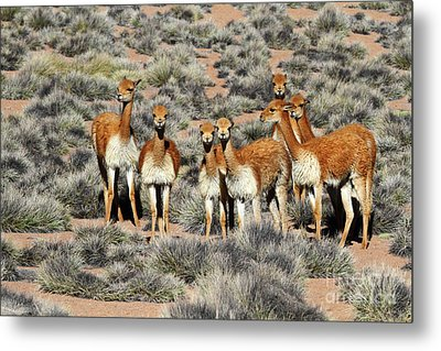 Vicuna Family Portrait Metal Print by James Brunker