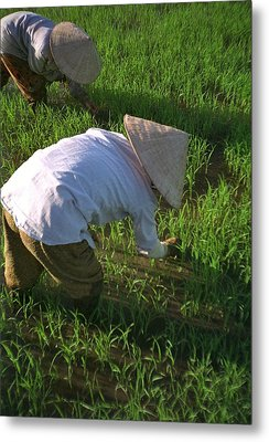 Vietnam Paddy Fields Metal Print