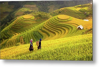 Vietnam. Rice Fields Prepare The Harvest At Northwest Vietnam Metal Print