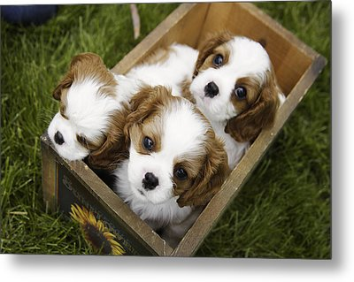View From Above Of Three Puppies Metal Print by Gillham Studios