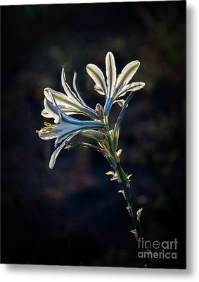 Metal Print featuring the photograph Vignetted Ajo Lily by Robert Bales