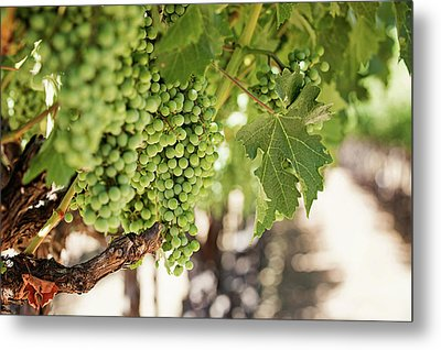 Wine Vineyard Of St. Helena - Grapevine Napa Valley Photography Metal Print by Melanie Alexandra Price