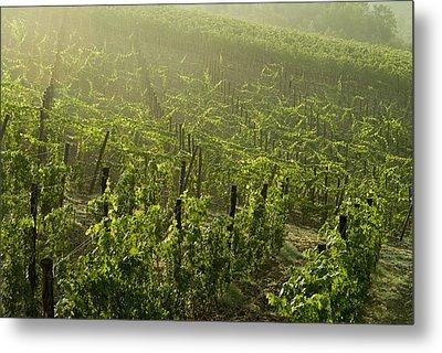Vineyards Shrouded In Fog Metal Print by Todd Gipstein