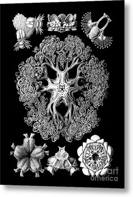 Vintage 1904 Ophiodeax Octopus And Starfish Biological Drawing Metal Print by Tina Lavoie