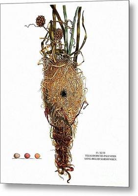 Vintage Nature, Long Billed Marsh Wren Nest, Eggs Metal Print by Tina Lavoie