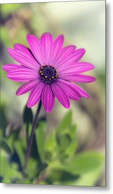 Metal Print featuring the photograph Vintage Purple Daisy  by Saija Lehtonen