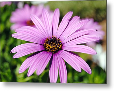The African Daisy 1 Metal Print