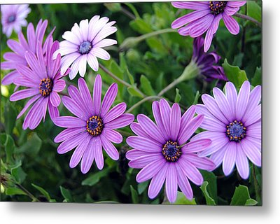 The African Daisy Flowers Metal Print