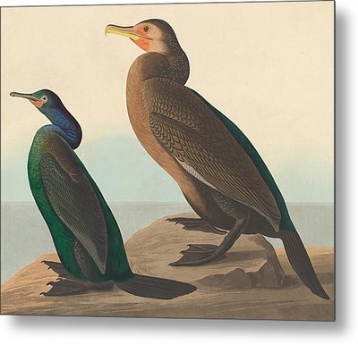 Violet Green Cormorant And Townsend's Cormorant Metal Print by John James Audubon