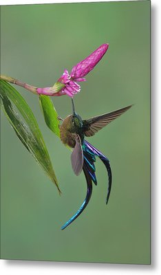 Violet-tailed Sylph In Ecuador Metal Print by Juan Carlos Vindas