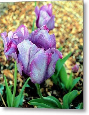 Violet Tulips Metal Print by Jame Hayes