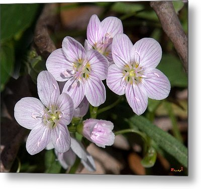 Virginia Or Narrowleaf Spring-beauty Dspf041 Metal Print by Gerry Gantt