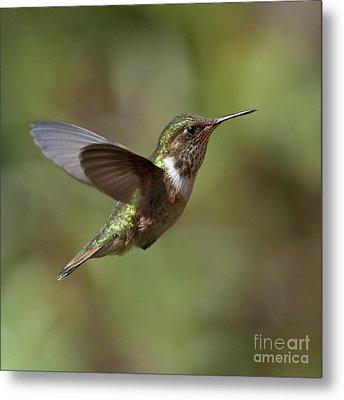 Volcano Hummingbird Metal Print by Nina Stavlund