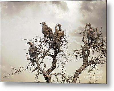 Vultures In A Dead Tree.  Metal Print