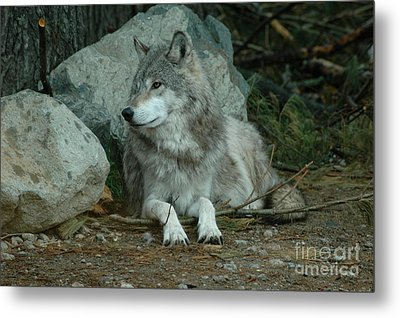 Watchful Wolf Metal Print