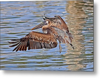 Water Ballet - Brown Pelican Metal Print by HH Photography of Florida