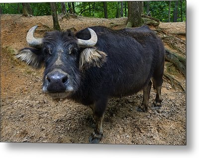 Water Buffalo On Dry Land Metal Print