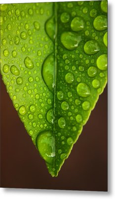 Water Droplets On Lemon Leaf Metal Print by Ralph A  Ledergerber-Photography