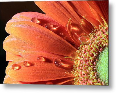 Water Drops On Colorful Flower Petals Metal Print