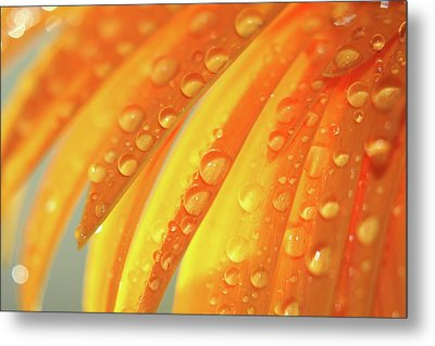 Water Drops On Daisy Petals Metal Print by Daphne Sampson