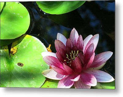 Water Lilly Metal Print by Betty Buller Whitehead