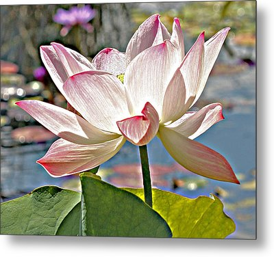 Water Lily Metal Print by Catherine Alfidi