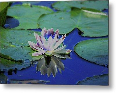 Water Lily  Metal Print by Karol Livote