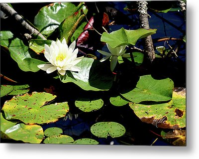 Water Lily Metal Print by Meta Gatschenberger