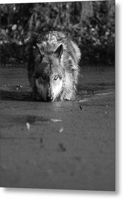Metal Print featuring the photograph Water Wolf I by Shari Jardina