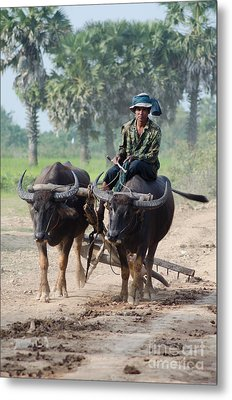 Waterbuffalo Driver Returns With His Animals At Day's End Metal Print by Jason Rosette