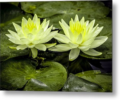 Waterlily Duet Metal Print by Venetia Featherstone-Witty