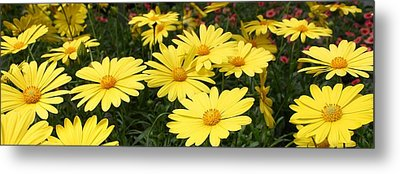 Waves Of Yellow Daisies Metal Print by Bruce Bley
