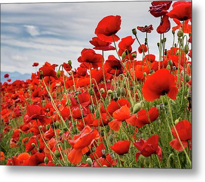 Waving Red Poppies Metal Print