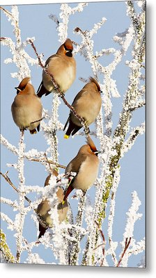 Waxwings And Hoar Frost Metal Print