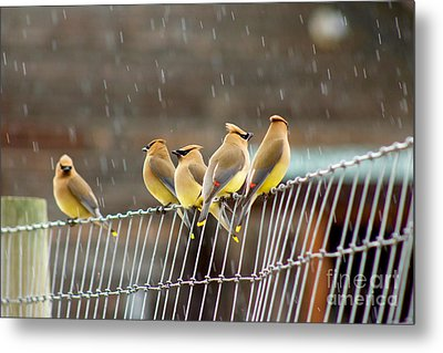 Waxwings In The Rain Metal Print
