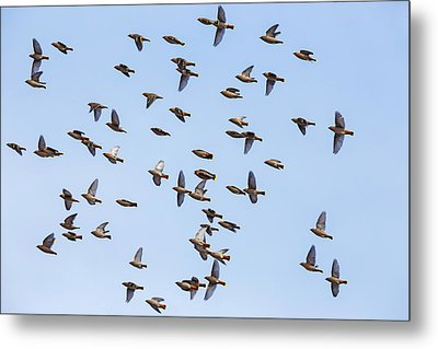 Metal Print featuring the photograph Waxwings by Mircea Costina Photography