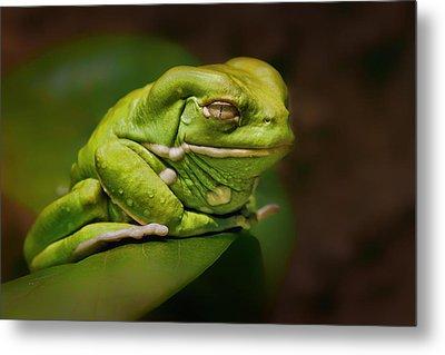 Waxy Monkey Tree Frog Metal Print by Nikolyn McDonald