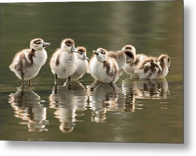 We Are Family - Seven Egytean Goslings In A Row Metal Print by Roeselien Raimond