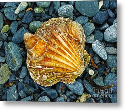 Weathered Scallop Shell Metal Print