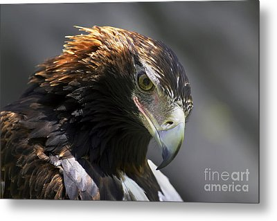 Metal Print featuring the photograph Wedge Tail Eagle by Bill  Robinson