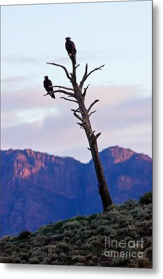 Metal Print featuring the photograph Wedge Tail Eagles by Bill  Robinson