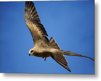 Wedgetail Eagle Flight Metal Print by Mike  Dawson