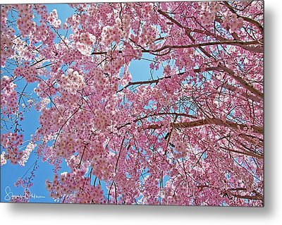 Weeping Cherry Blossoms - Signed Limited Edition Metal Print by Steve Ohlsen