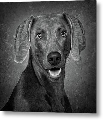 Metal Print featuring the photograph Weimaraner In Black And White by Greg Mimbs