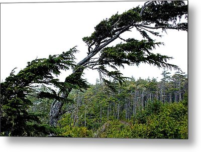 West Coast  Trees In Rain Metal Print by Brian Sereda