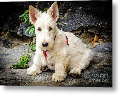 West Highland White Terrier #1 Metal Print