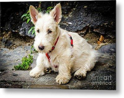 West Highland White Terrier #2 Metal Print