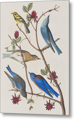 Western Blue-bird Metal Print by John James Audubon